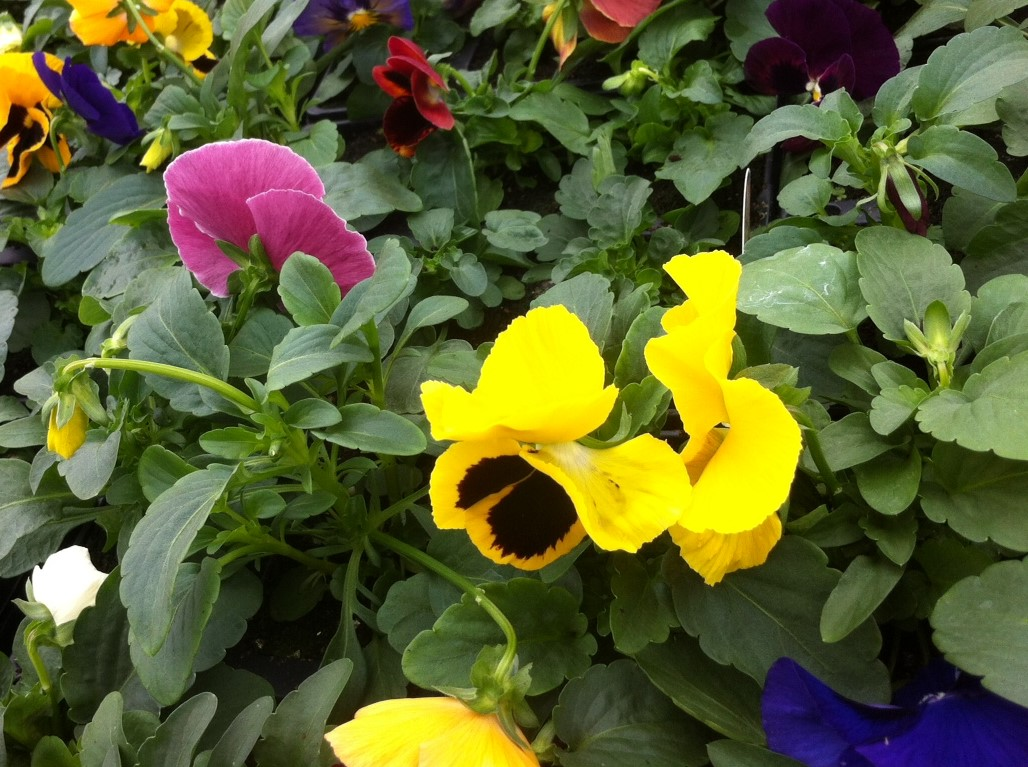Ansell Plants - Location: Outdoor MarketTrading: ThursdayContact: 07885 406434Email: alans813@aol.comA super variety of seasonal plants and flowers for all occasions.