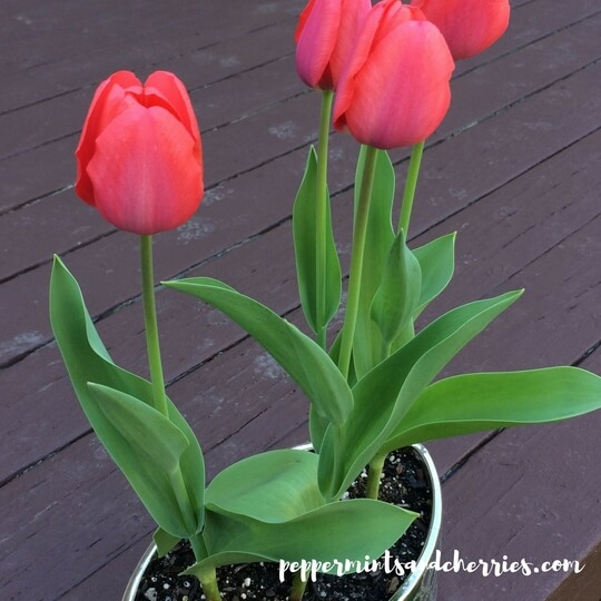 Spring Gardening 2018: Tulips on the Deck