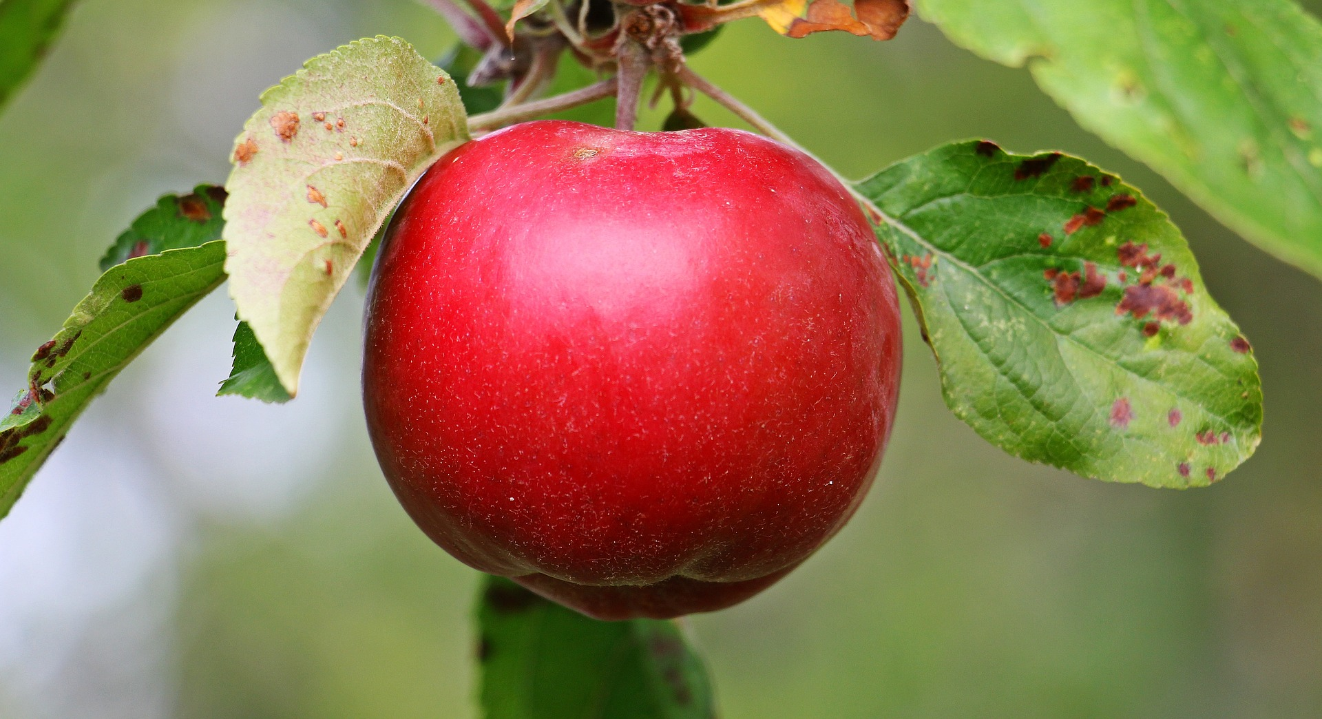 Kunskapens äpple