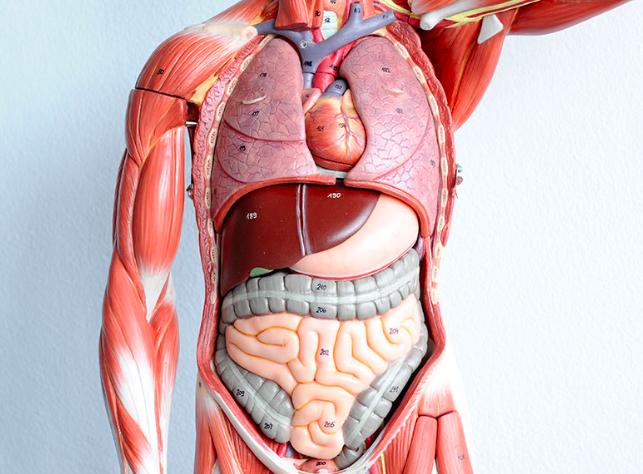 Photo: Human Anatomy and Physi