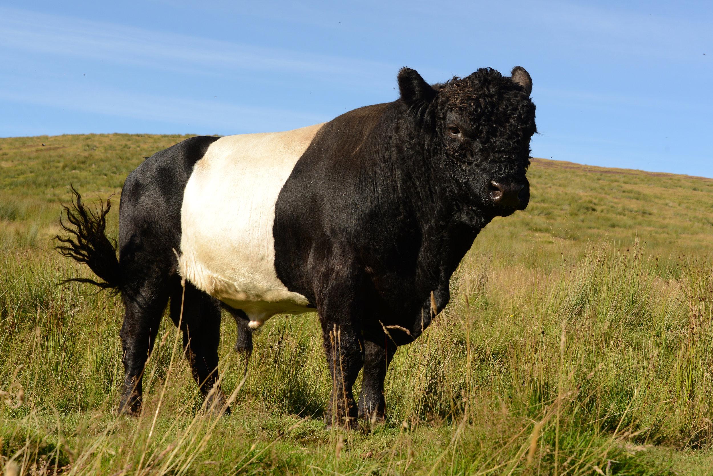 Stunning Belted Galloway bull