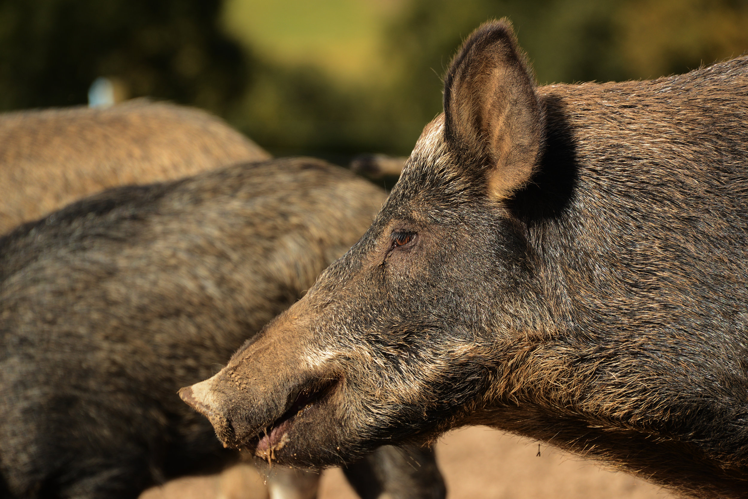 Adult iron age pig