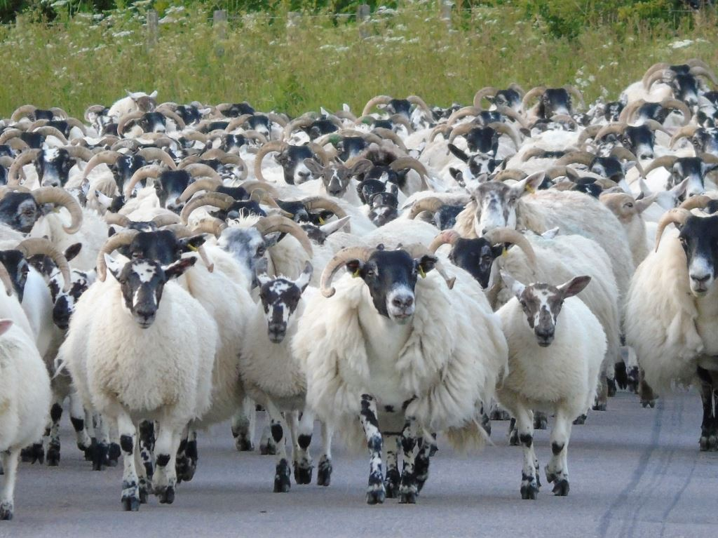 The flock being moved to fresh grazing