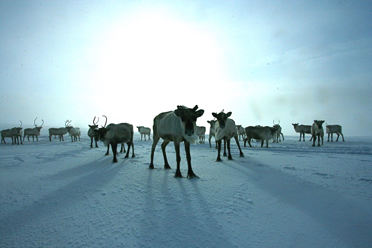Expectant reindeer!