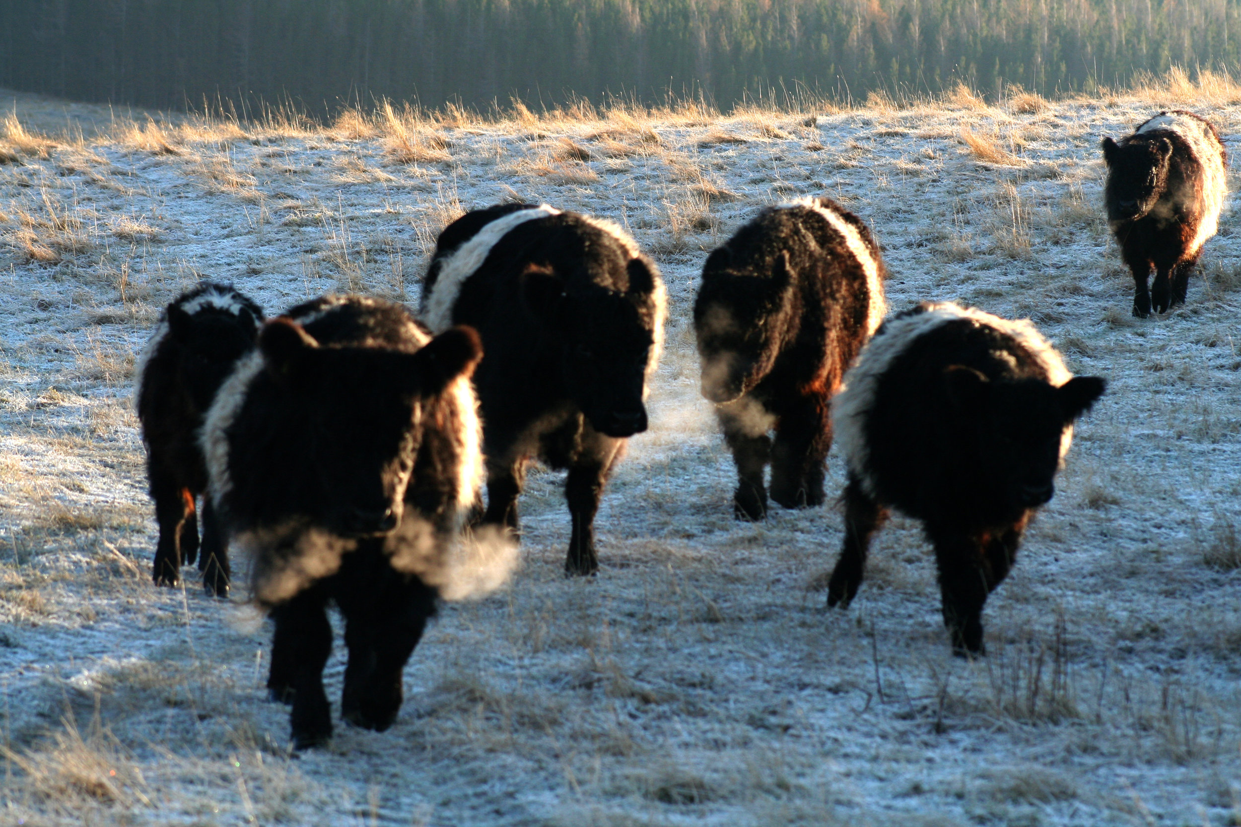 The belties are enthusiastic about a bit of extra feed