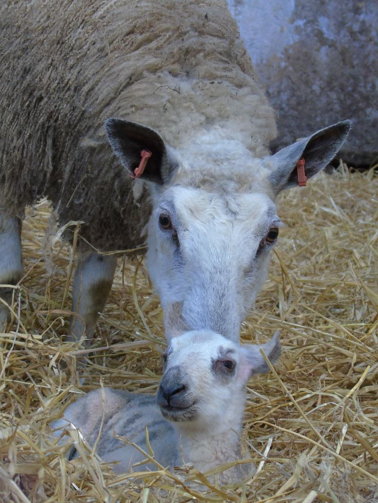 Blue Faced Leicester ewe and lamb