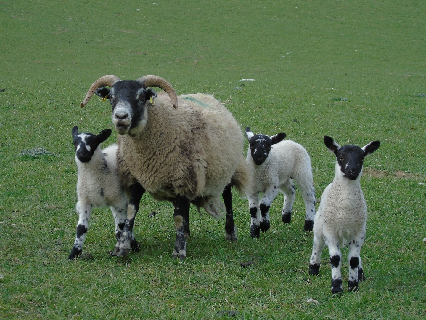 Blackface ewe with mule lambs, this one had triplets!
