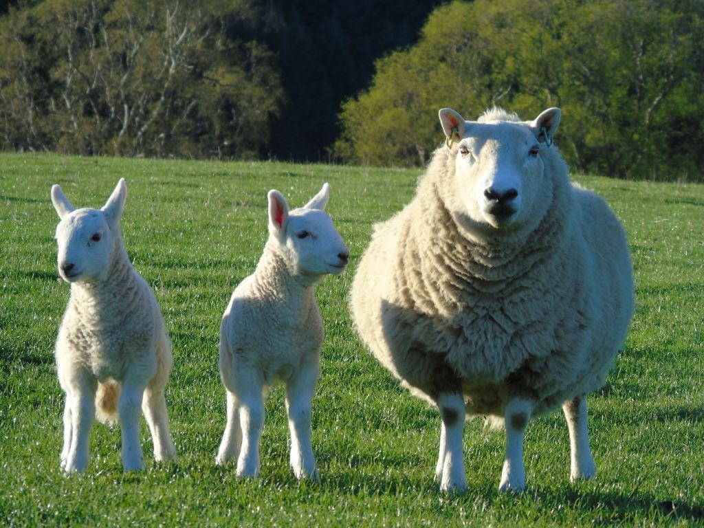 Cheviot ewe and lambs
