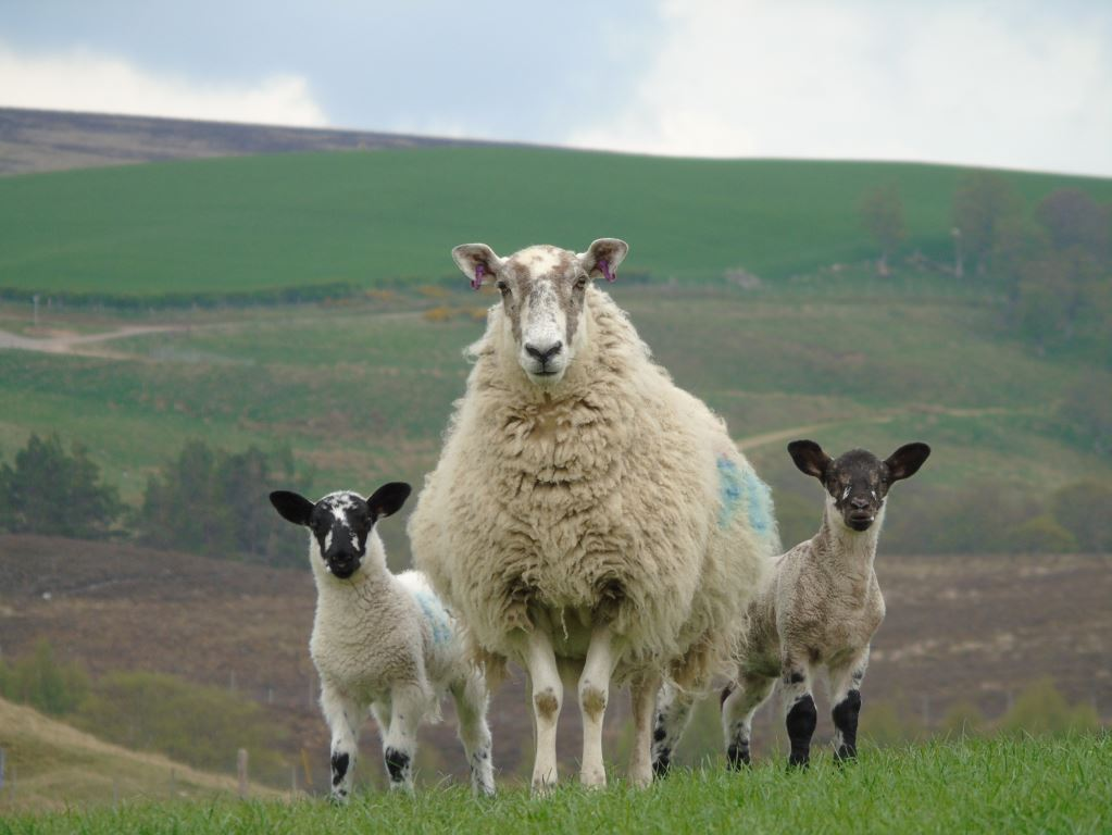 A successful fostering - mule ewe, right hand lamb is her own suffolk cross lamb, left hand lamb is a mule lamb out of a blackface ewe.