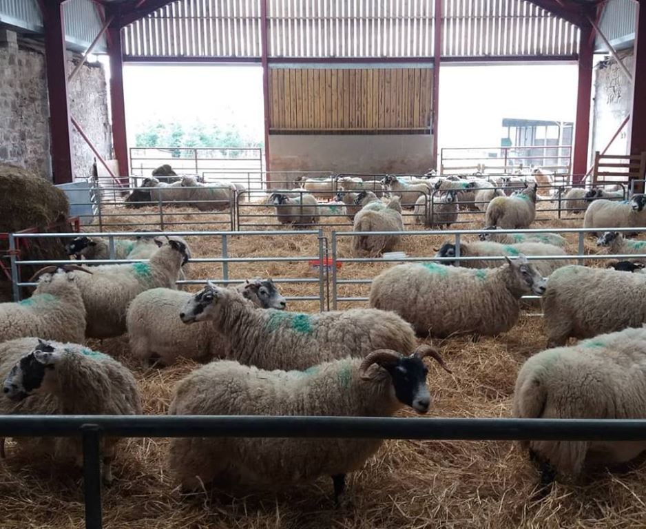 Pens of ewes expecting triplets