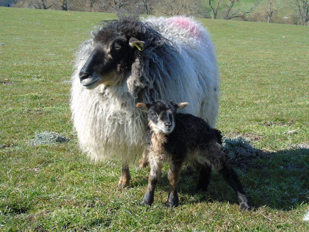 Icelandic ewe and lamb