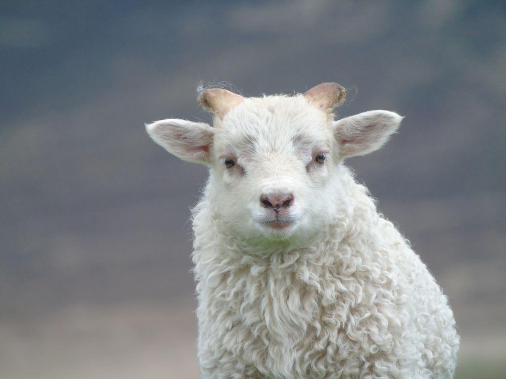 Icelandic tup lamb