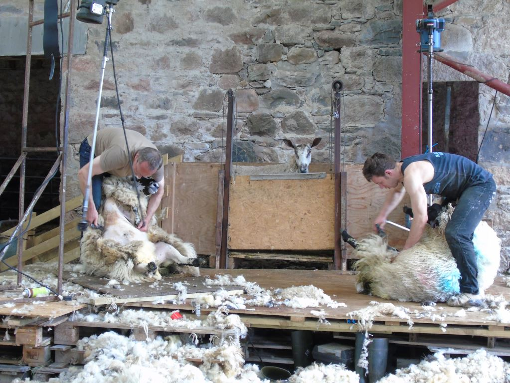 Shearing team at work