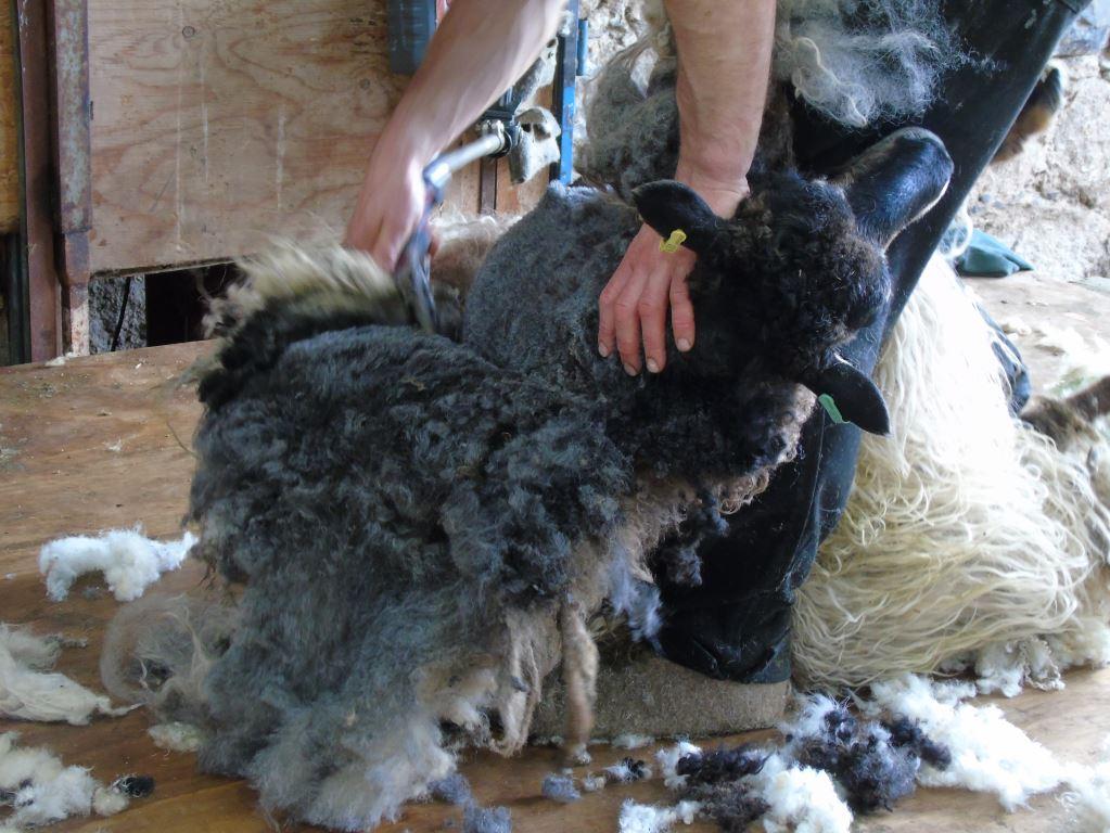 Icelandic ewe being sheared