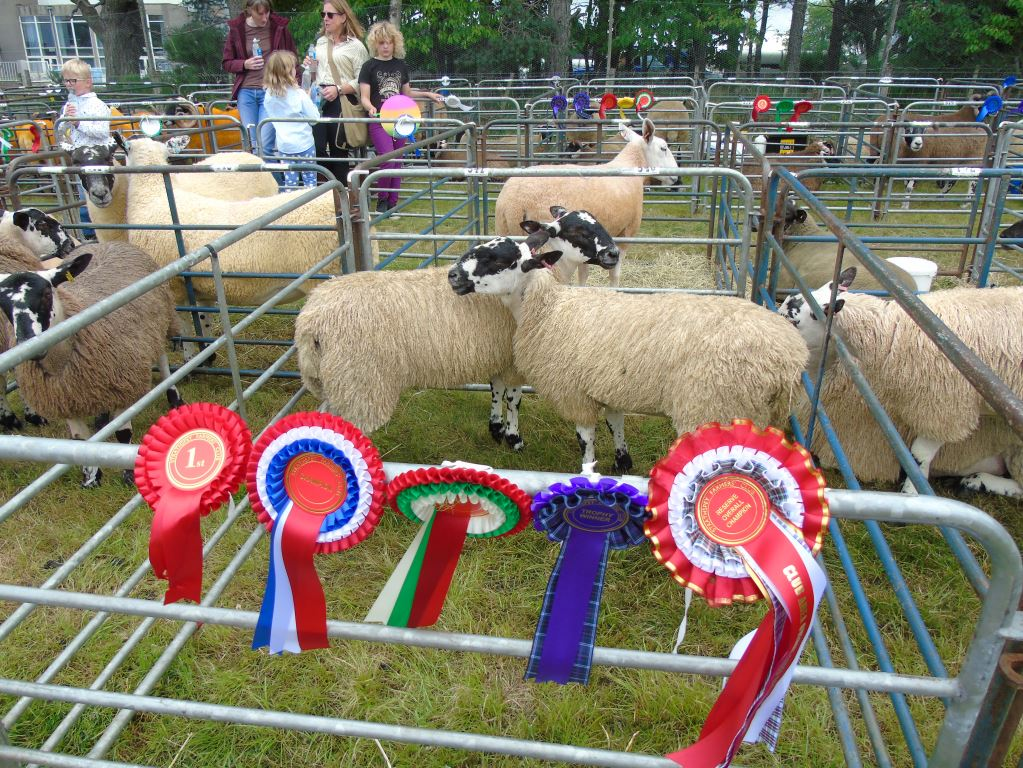 Our ewe lambs were champion cross sheep at Grantown Show