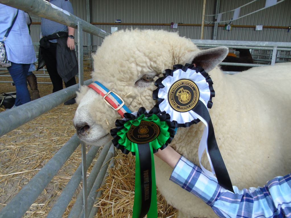 Ryeland Shearling Yoda with his rosettes - he has done Eilidh proud in the young handler classes all season