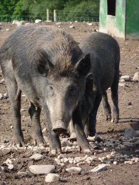 Pure wild boar