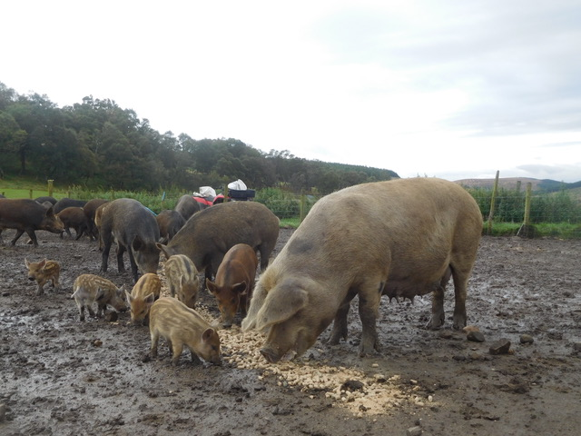 Tamworth x Gloucester Old Spot sow