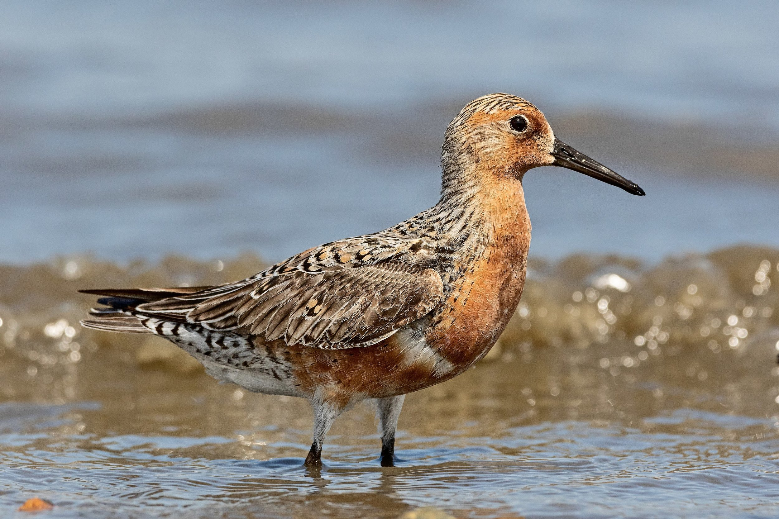 2880px-Red-Knot-for-Wiki.jpg