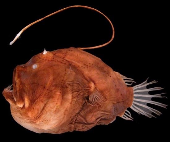 anglerfish_wiki.jpg