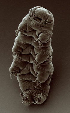 Adult_tardigrade.jpg