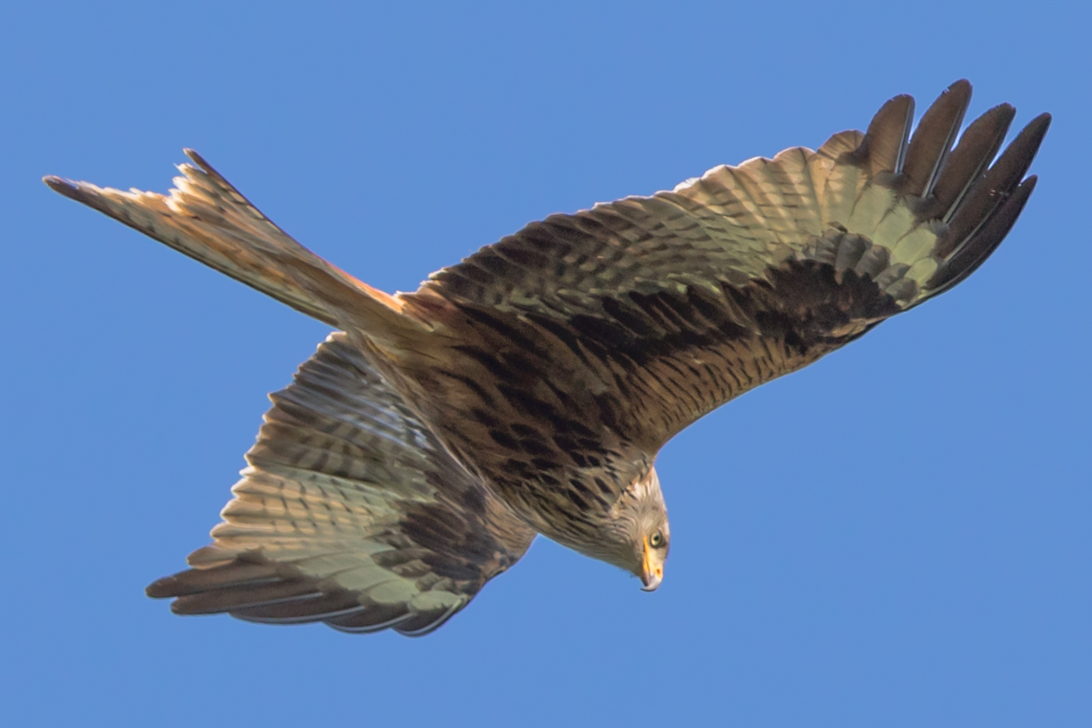 Red Kite (image courtesy of Anthony Child Photography)