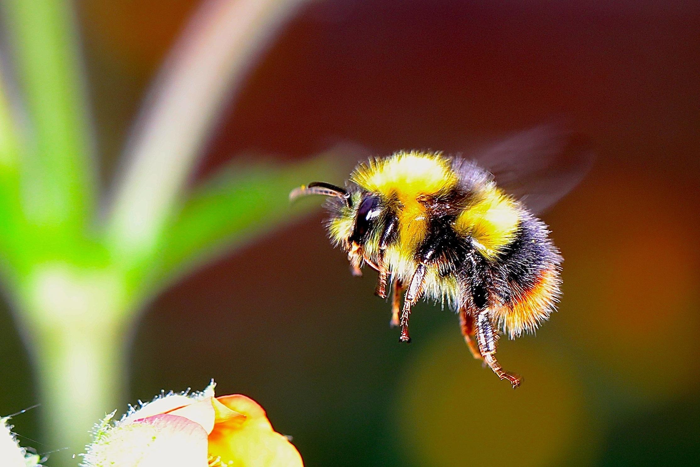 bumble-bee-2361336.jpg