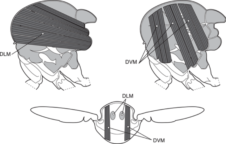 Figure 1: Diagrams showing the arrangement of muscles in the insect thorax. Source: Wikimedia Commons