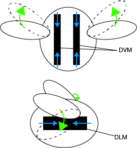 Figure 2: Diagrams showing how the DVMs and the DLM beat the wings. Copyright Animal Dynamics 2019