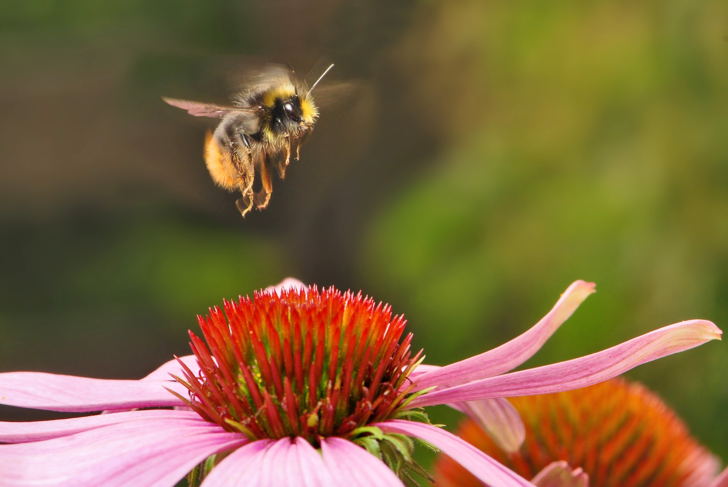 bumblebee-538595.jpg