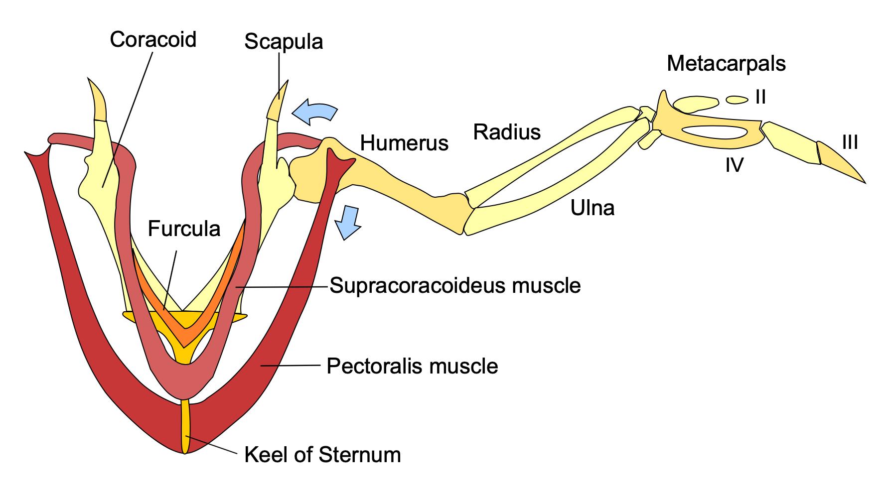 Figure 3: Bird wing anatomy