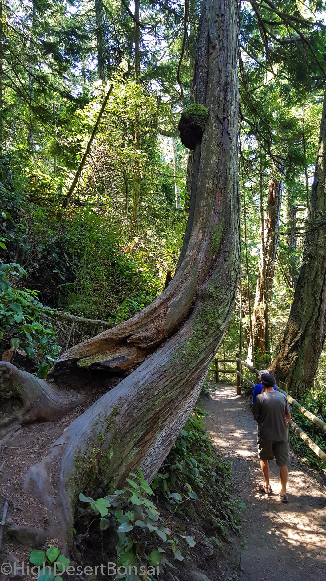 crazy curvy old tree