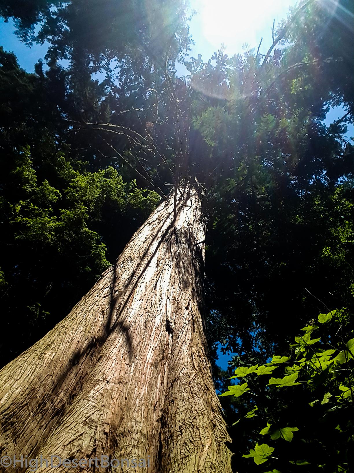Huge Cedar