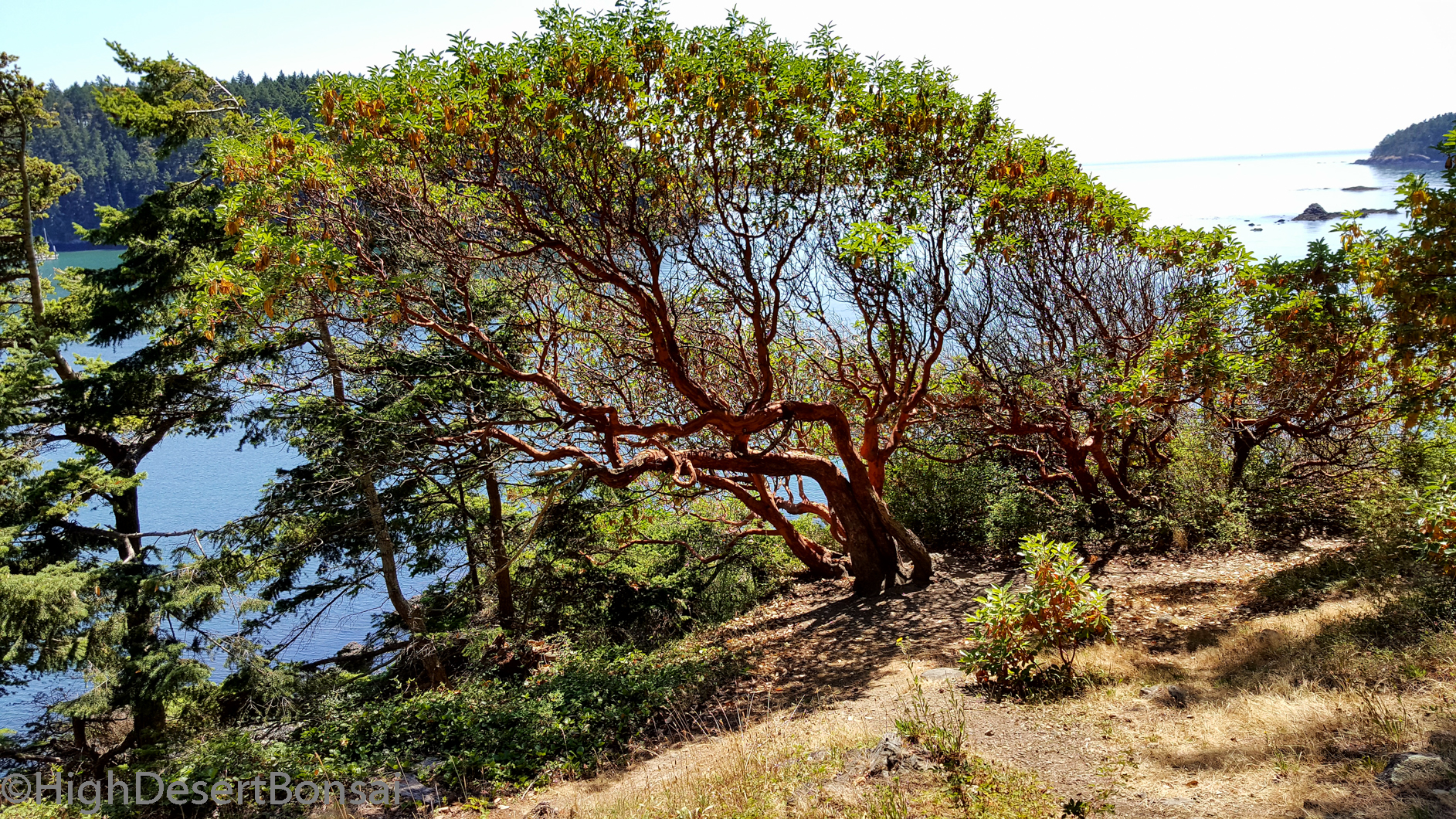 Beautiful Madrone Trees