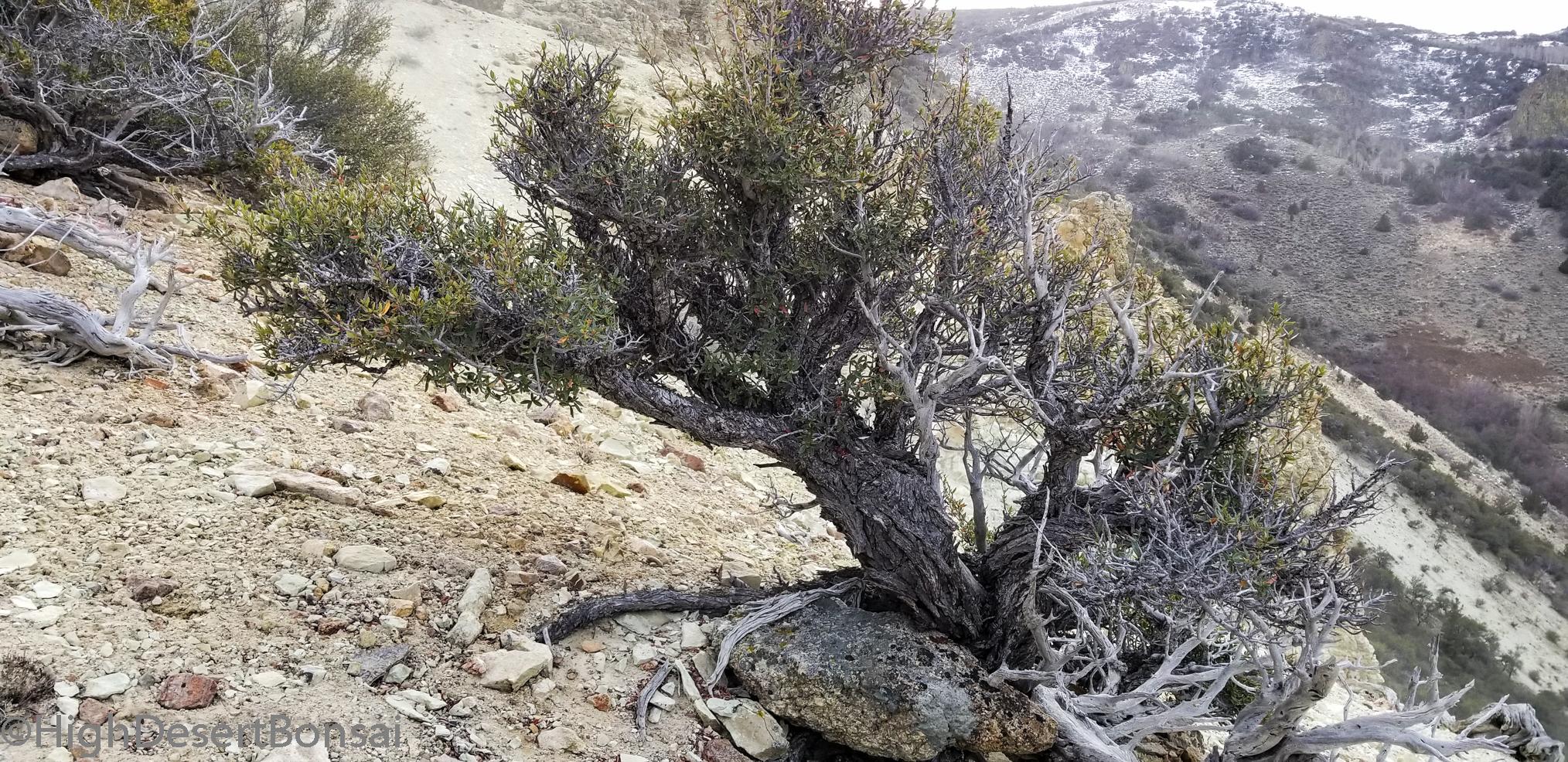Mountain Mahogany