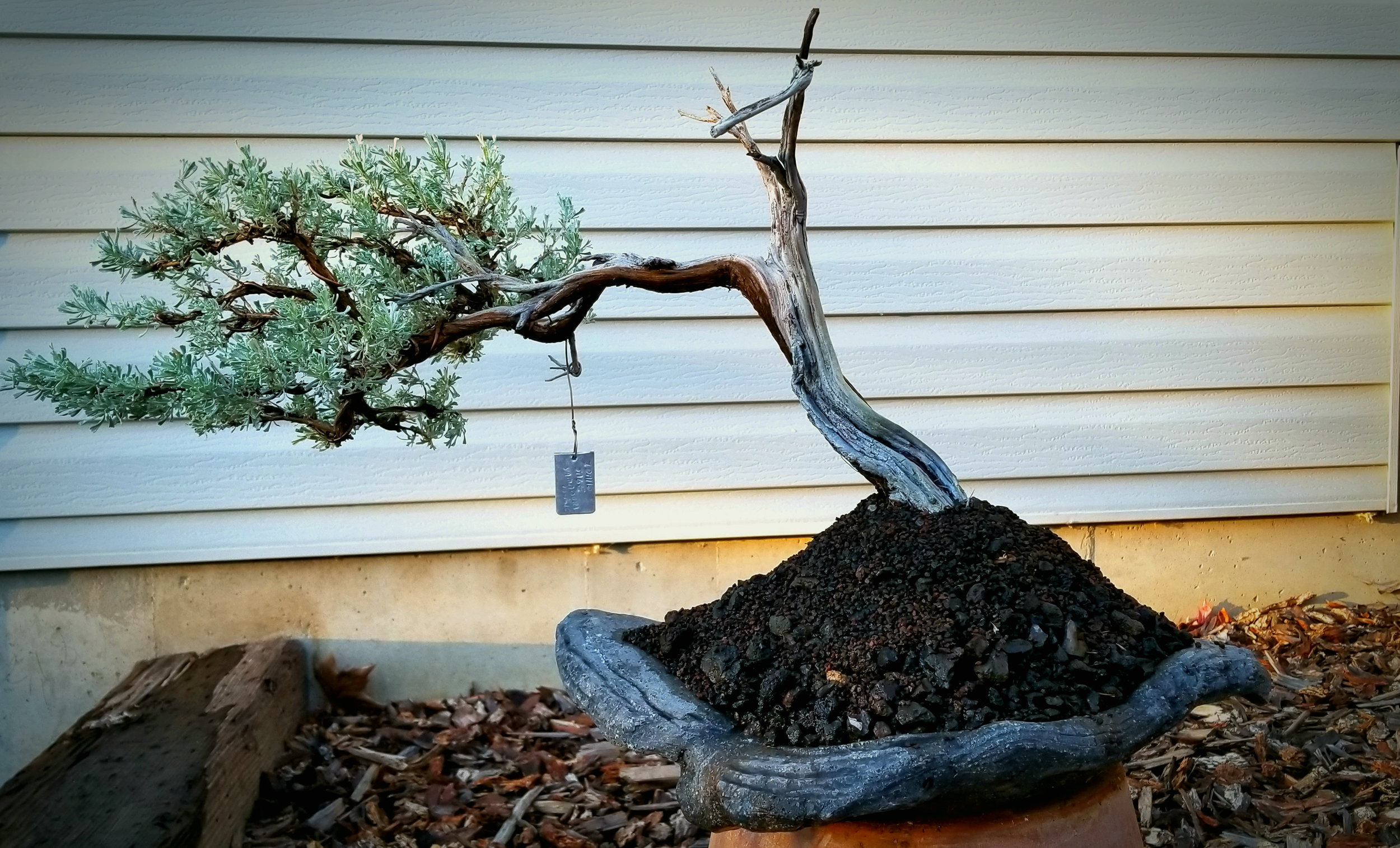 another Sage cleaned up and planted on a slab