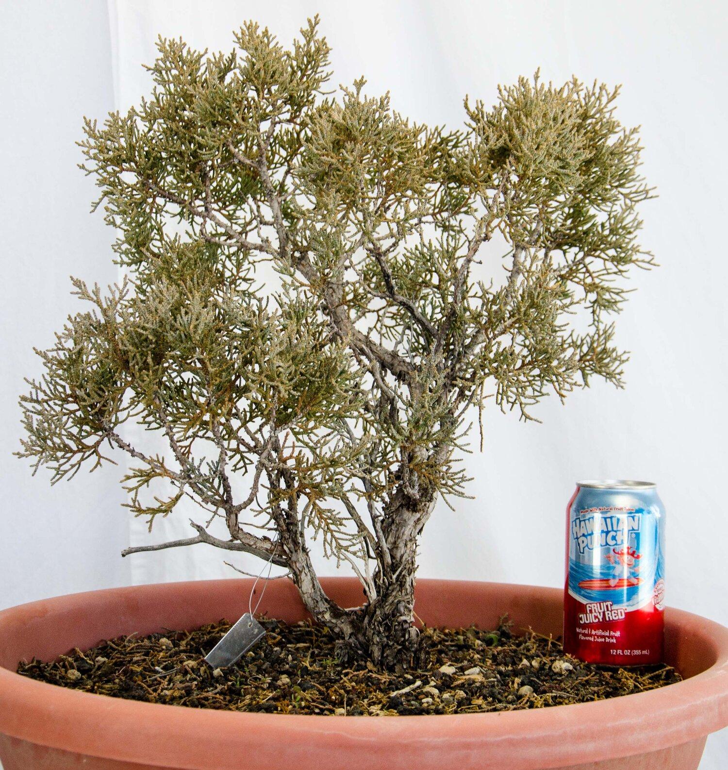 Sierra Juniper Hdb0707 Sold High Desert Bonsai