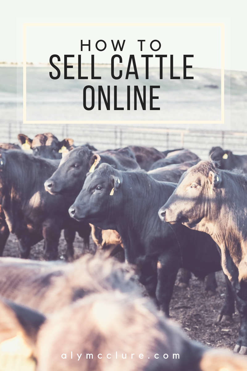 How to sell cattle online and make good money doing it. A pen of Holle Gelbvieh bulls ready for the sale.