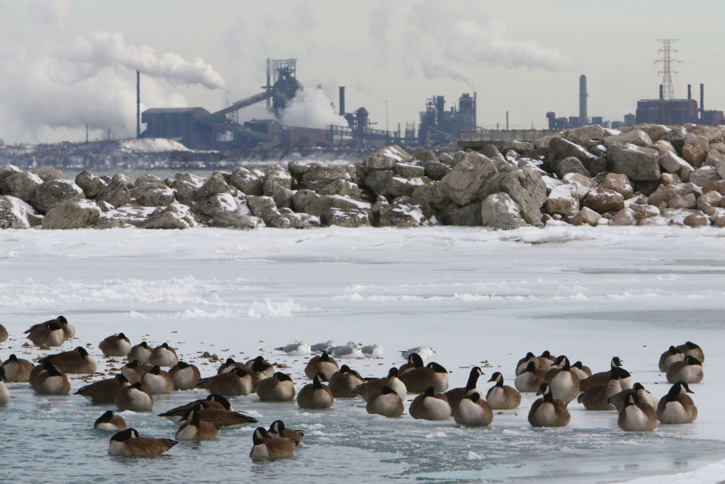 Geese and gulls congregate on ice near the docks at Whihala Beach in Whiting, Indiana.