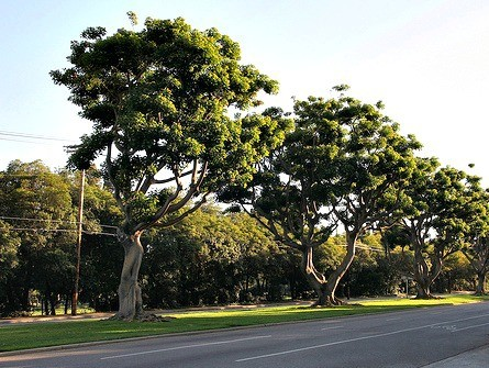 The San Vicente Boulevard grassy median – with its historic coral trees – runs all the way from Brentwood Village to the beach bluffs. It is a very popular route for runners, bicyclists, and private fitness trainers with their clients.