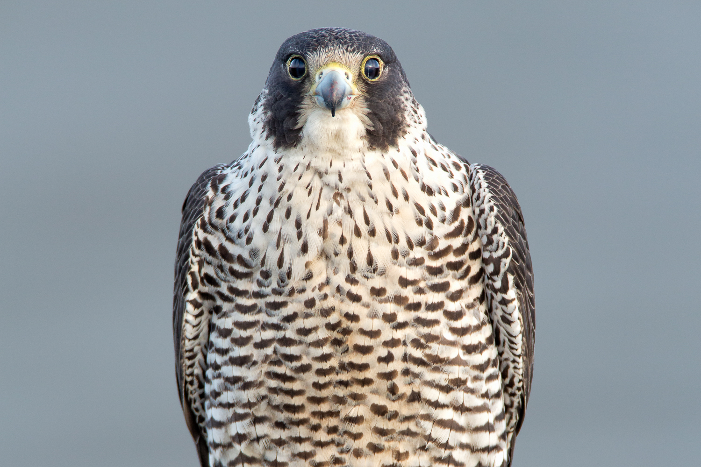 Peregrine Falcon WZ.