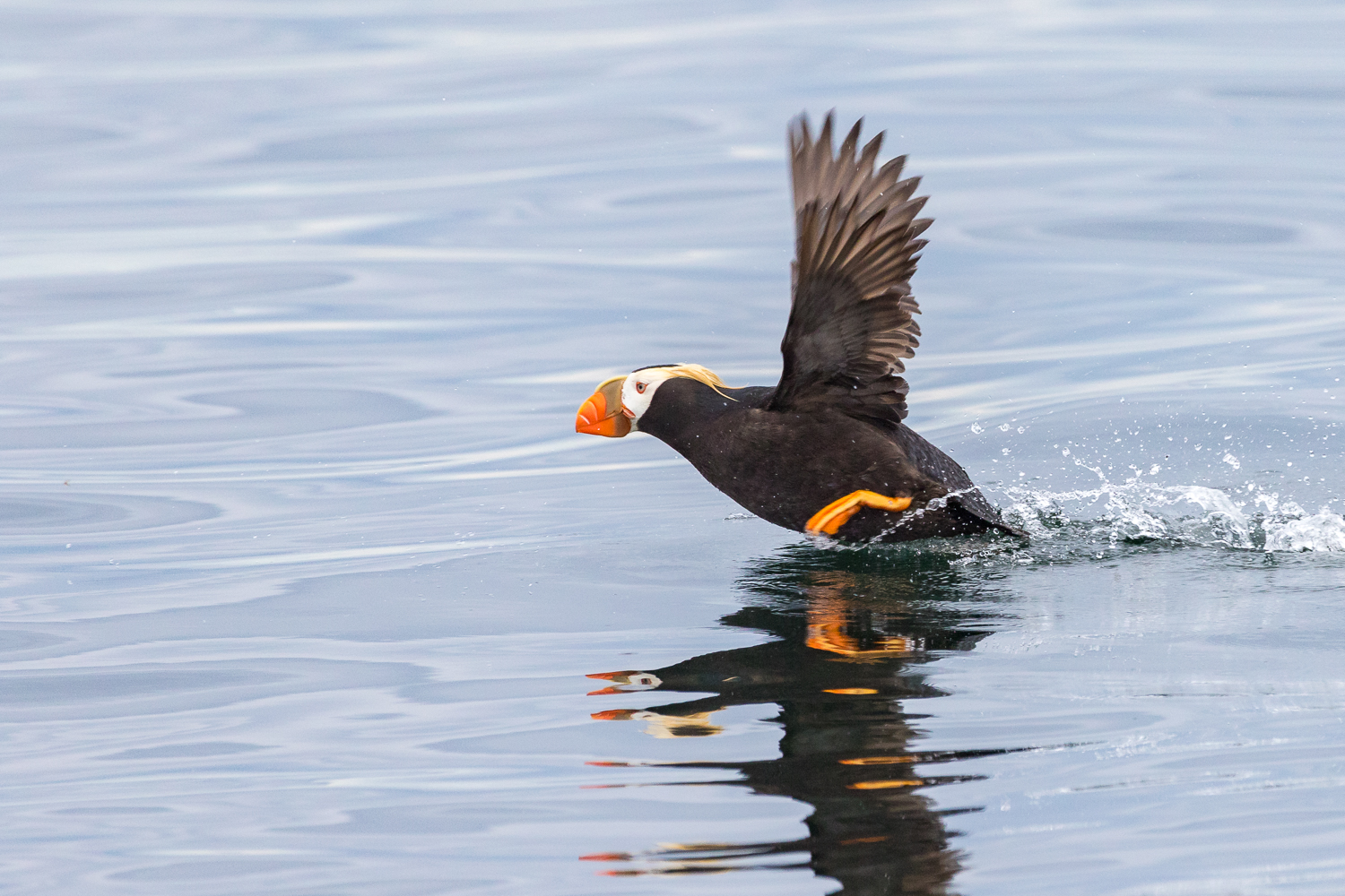 Tufted Puffin taking off.