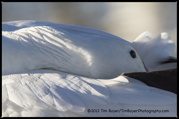 Snow Goose Dreams-9051