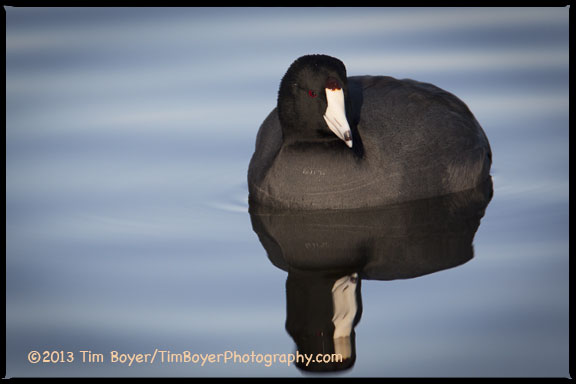 A coy American Coot at Gene Coulon Park, Renton.