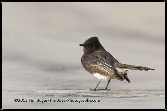 Black Phoebe on the beach near La Jolla Beach.