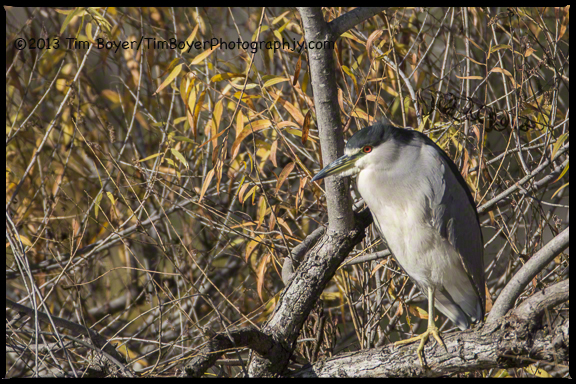 Black-crowned Night-Heron, Santee Lakes, CA
