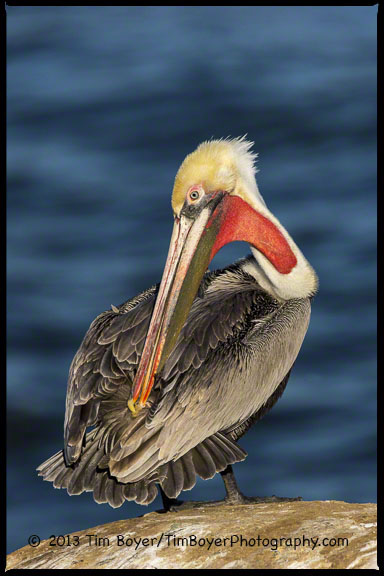 Brown Pelican preening.  The uropygial or preen gland that contains the oil/waxy substance to waterproof and care for feathers is visible.