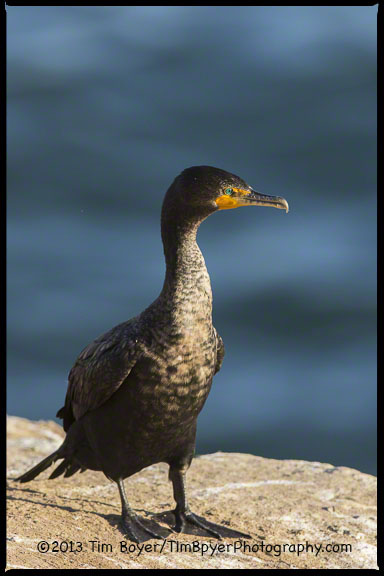 In January only a few birds will have the breeding plumage double crest.  Most of the Double-crested Cormorants were still in basic or winter plumage.
