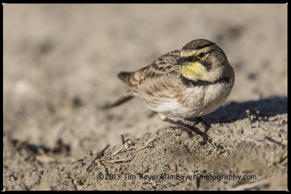 A Horned Lark searching for seeds along the San Diego River.