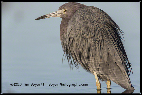 A Little Blue Heron pauses while searching for food along the San Diego River.